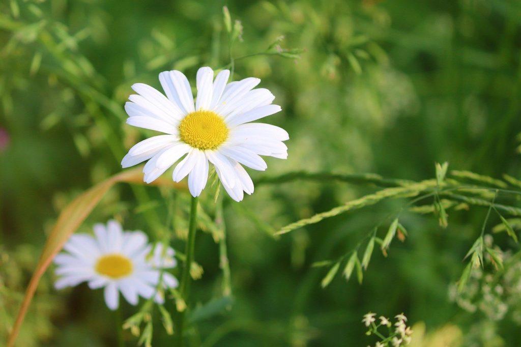 daisies, flowers, white daisies-6380058.jpg